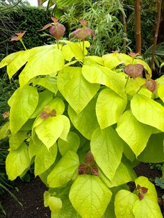 "Catalpa bignonioides ""Aurea"" (the golden indian bean tree), Great Dixter… Candy Flowers, Herbaceous Border, Foliage Plants, Border Design, Tropical Plants, Shrubs, Garden Ideas, Deck, Things To Come"