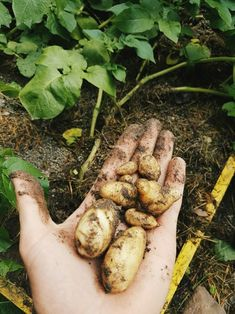 Yeah! the first own grown potatoes.. take the form of a...