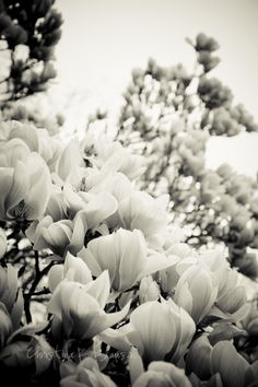 Black and White Magnolia Tree Photograph.  Nature Photography. Flower. Mother's Day. Spring. Home Decor. Fine Art Photography 10x15  123Team. $35.00, via Etsy.