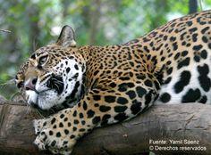 Yaguareté - Panthera onca - Foto de Yamil Sáenz