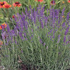 English Lavender - Sweetly Fragrant Blooms and Evergreen Blue-Green Foliage!