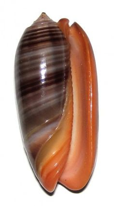 Millie, this shell is a OLIVA RUBROLABIATA.  I like that it is smooth and shiny.