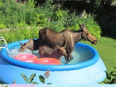Hey Ma... There are moose in the pool!!