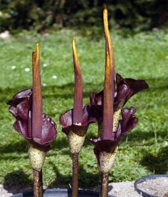 Aroid Devil's Tongue Voodoo Lily Amorphophallus konjac � 3 Small Bulb