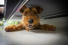Smiling Welsh Terrier from the Welsh Terrier Fan Club