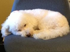 Sleeping Bichons are adorable