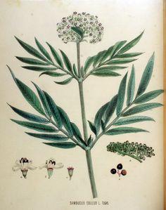 Sambucus ebulus burjan