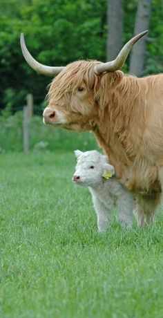 Highland Cow and baby enjoying their short time together before being ripped apart and cut up into body parts.