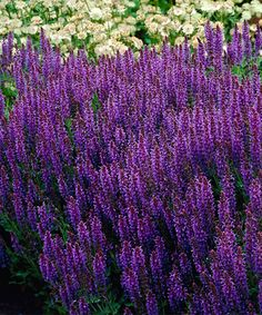 Take a look at this Live Salvia Maynight Bare-Root - Set of Three today!