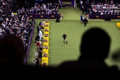 Handlers and their dogs prepared for their shot at Best in Show at the Westminster Dog Show at Madison Square Garden on Tuesday.