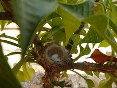 Hummingbird nest with 2 eggs in my garden.