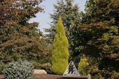 Image result for evergreen australian columnar trees with scent in cold climate