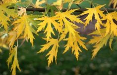 Acer Saccharinum ~ Silver Maple ~ zone: 3 ~ size: Medium to Tall Tree, 40-60' Tall
