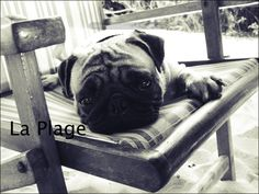 Pug on the beach Print Photography by banja on Etsy, $12.00