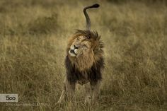 A Lion by khaleelq8. Please Like http://fb.me/go4photos and Follow @go4fotos Thank You. :-)