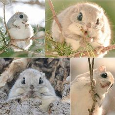 Incredibly cute #EzoMomonga spotted in Hokkaido Follow @9gag @9gagmobile #9gag #flyingsquirrel (credit: TW - Pop Shiretoko 360) #F4F #lol #tagforlikes #followback