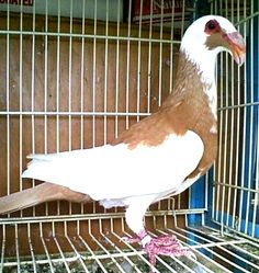 We have Scandaroon Pigeons For Sale