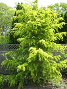 Cedrus deodara 'Gold Cone' (shown here) grows to height of feet and displays beautiful pendulous branches covered in green-yellow foliage and grows in a more vertical fashion thus taking up less space in the landscape than some other cedars. Evergreen Landscape, Evergreen Garden, Evergreen Shrubs, Garden Trees, Trees And Shrubs, Backyard Trees, Brick Garden, Garden Shrubs, Deer Resistant Landscaping