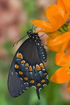 Black version of Eastern Tiger Swallowtail