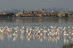 Flamingos in the Lagoon of Orbetello. Photograph by Andrea De Maria