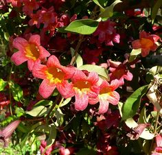 Crossvines are robust and vital vines and care of crossvine plants includes little more than occasional pruning. This article has more information about Bignonia crossvine care and information about how to grow a crossvine.