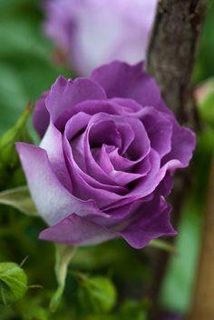 Floribunda rose 'Pacific Dream' - Blue For You