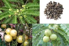 Health Benefits: AMLA (Phyllanthus Amblica) आँवला In traditional Indian medicine, dried and fresh fruits of the plant are used. In fact all parts of plant are used- fruit, seed, leaves, root, bark and flowers. Qualities (गुण):  Light (लघु) and dry (रुक्ष), the post digestive effect is sweet (मधुर), and its energy is cooling (शीतल). Amla balances all three doshas. Amla is unusual in that it contains five out of the six tastes recognized by Ayurved. Amla is helpful in reducing pitta(पित्त) due…