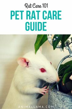 Have pet rats? Here is everything you need to know about pet rat care. The complete guide on how to take good care of your pet rats! Rat food, rat bedding, entertaining the rats, rat cages etc. #pets #rats #ratsofpinterest #petcare