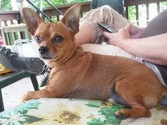Sharon Barber ‎Pennsylvania Lost/Found Pets Page   Missing from East Palestine Ohio On March 29th. He is a brown Chihuahua. His was wearing a black leather collar with metal spikes and tags. Please help me find him.We miss are little guy Please call me 234-855-7041 or message me Reward for safe return home Sharon Boulanger