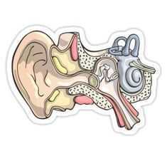'Human Inner Ear Anatomy Illustration' Sticker by taylorcustom Inner Ear Anatomy, Human Ear Anatomy, Cool Stickers, Printable Stickers, Laptop Stickers, Hand Sticker, Medical Illustration, Anatomy Art, Journal Stickers
