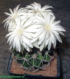 Margit Sepsi - Cactus in Bloom Unusual Plants, Exotic Plants, Cool Plants, Exotic Flowers, Amazing Flowers, Air Plants, Cacti And Succulents, Planting Succulents, Planting Flowers