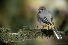 Grey Wagtail by wise-photographie via http://ift.tt/24FdQGE