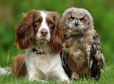 My two favorite animals springer spaniels and owls!