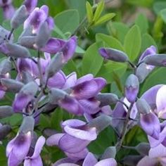 Purple Smoke False Indigo