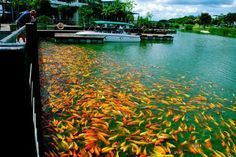 Large group of Koi Fishes in Man-made lake of Nuvali Park, Santa Rosa City, Laguna , Philippines. Tagaytay, Travel Log, Colorful Fish, Koi, Philippines, Around The Worlds, Santa, River, Carp