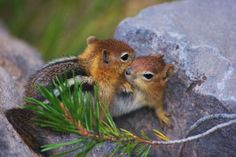Golden-mantled Ground Squirrels - Ground squirrel pup rough-houses with its older sibling.