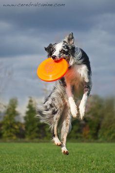 Australian Shepherd dog Irish, jumping to catch disc