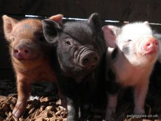 三隻小豬的童話故事!