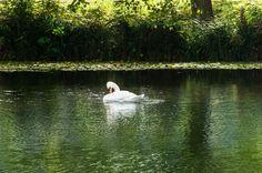 Swan of Normandy by Matias De Sainte Lorette
