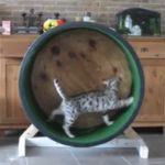 Lazy Susan Cat Treadmill hah! With an ikea lazy susan. Funny cat with lots of energy on video! Poor kitty pooping in background!