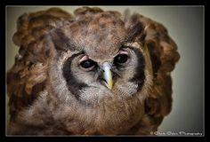 """""""Hinckley""""  Milky Eagle Owl"""