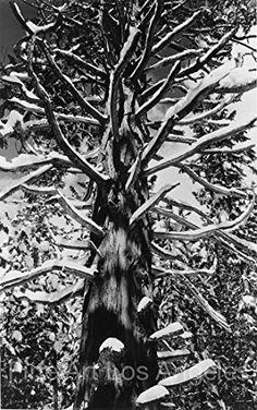 "Ansel Adams Photo ""Cedar Tree, Winter, Yosemite"" 1935 Fine Art Los Angeles http://www.amazon.com/dp/B00V78CF0M/ref=cm_sw_r_pi_dp_8tFivb0SC2HR4"