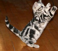 American shorthair kitten!