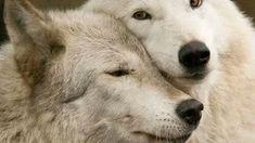 Husky, Wolf Love, Quokka, Wolves, Polar Bear, Lions, Friends, Animals, Beautiful