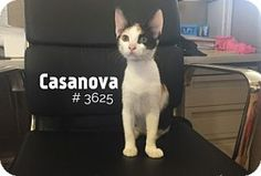 Casanova - URGENT -  Alvin Animal Adoption Center in Alvin, Texas - ADOPT OR…
