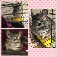 Hocus Pocus the chinchilla. Pics my sister took while pet sitting him when we were on Vacation. Love this lil cutie! #lovechinchillas