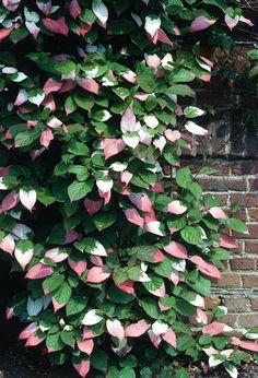 Actinidia Kolomikta with pretty pink and white variegation #climber #deciduous