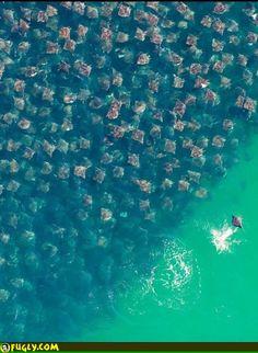 Swarm Of Rays