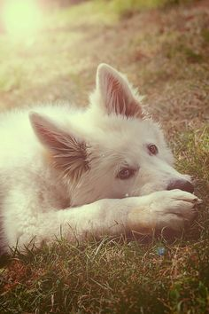 Havalanche : Wolf dog by Victoria Welcome, via White Shepherd, German Shepherd Dogs, Wolfdog Hybrid, Wolf Dogs, Two Wolves, Dog Things, Police Dogs, Animals Of The World, Mans Best Friend