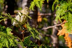 A Photo in the life of: One more of the Yellow Finch.(I couldn't decide wh...